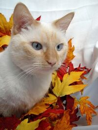 Attractive Flame Point Siamese