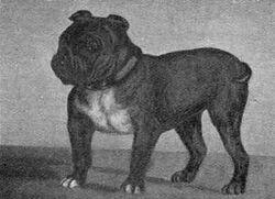 330px-Toy Bulldog Little Knot 1903