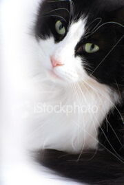 Istockphoto 4634571-black-and-white-cat