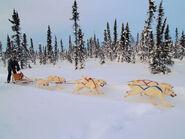 800px-White huskies dog sledding