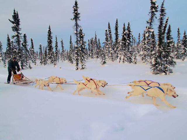 File:800px-White huskies dog sledding.jpg