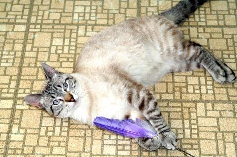 File:Siamese cat playing.jpg