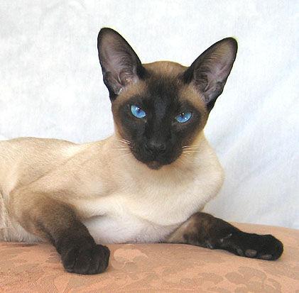 File:Siamese cat 2.jpg