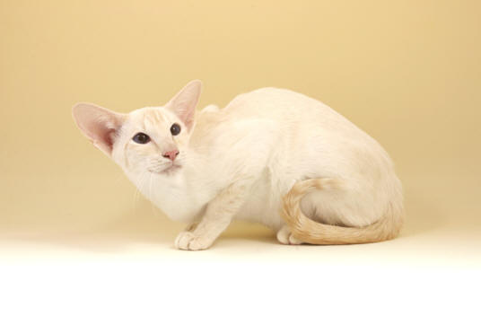 File:Cream Point Siamese.jpg