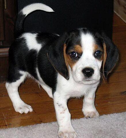 File:Puppy Beagle.jpg