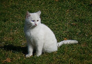 Turkish Van outdoors 2