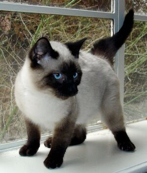 Seal Point Siamese 2