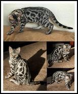 Silver bengal cat