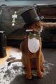 Abyssinian Cat Top Hat & Tuxedo 9.jpg