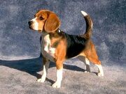 Beagle-12669