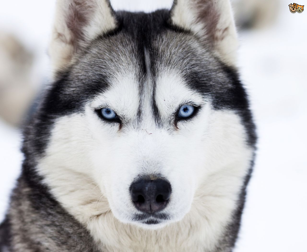 Images Of Husky Dogs: Dogs And Puppies Wiki