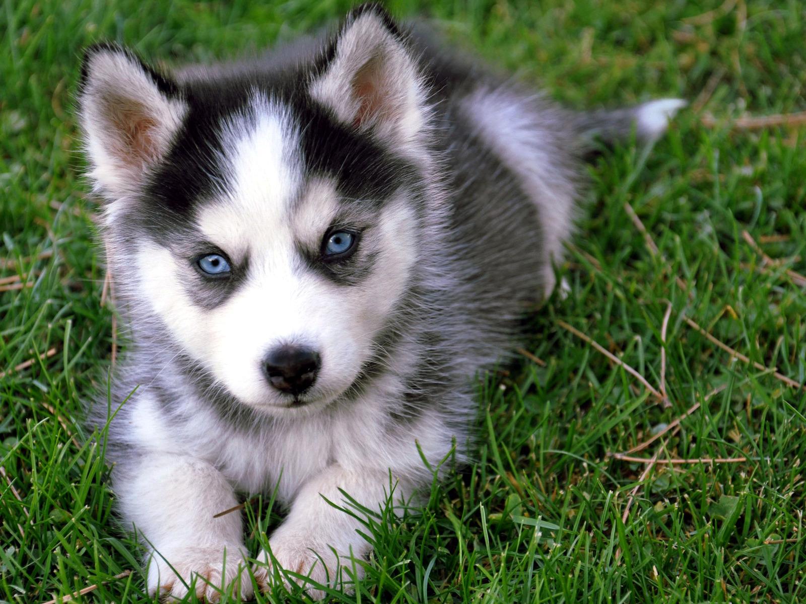 Husky puppy-1-.jpg  Dragon Story Wiki  Fandom powered by Wikia