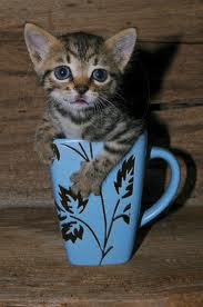 File:Kitteh in a cup.jpeg