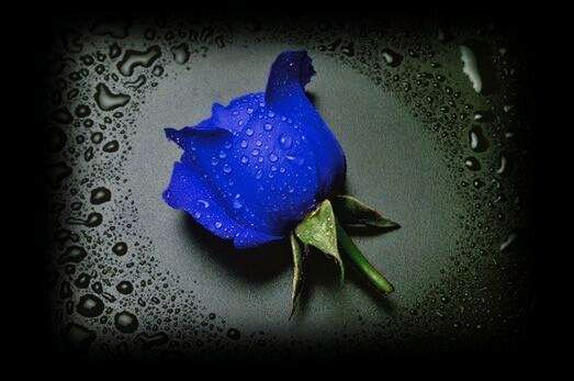 File:Blue rose.jpg