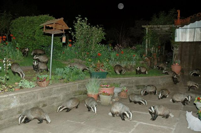 File:Lots of badger.jpg