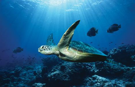 File:Ocean-turtle.jpg