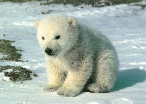 File:Cute polar bear.jpg