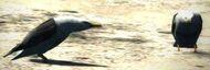 Dragon's Dogma - Seabirds