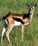Gazelle animagus
