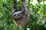 Linus three-toed sloth