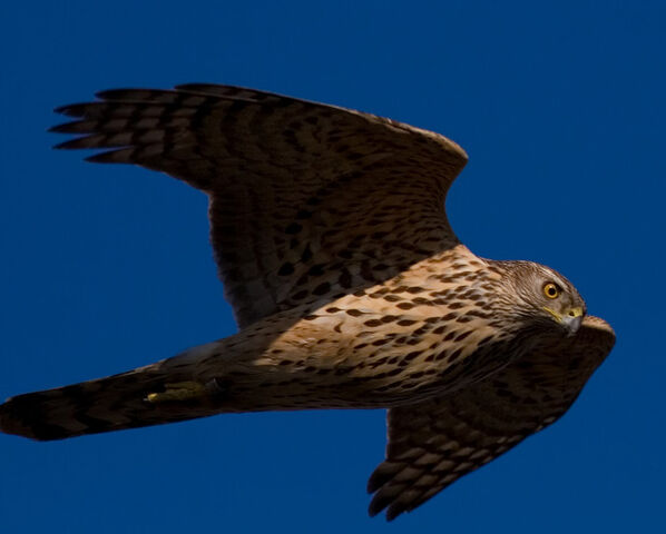 File:Northern Goshawk.jpg