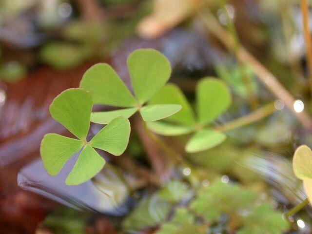 File:Maesilea quadrifolia denjisou01.jpg