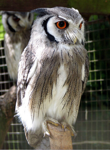 File:Northern White Faced Owl.jpg