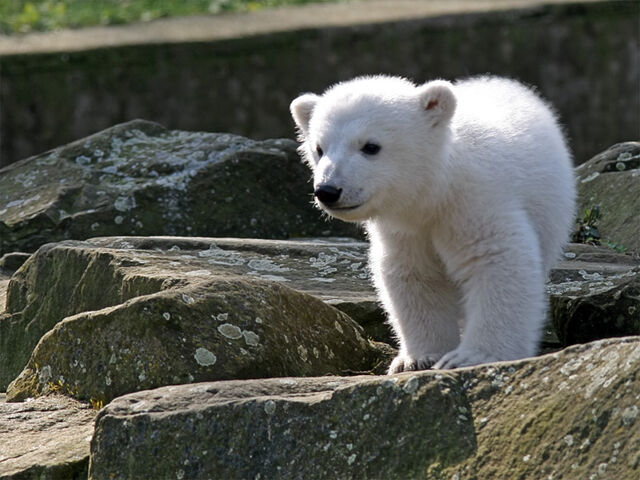 File:Knut IMG 8095.jpg