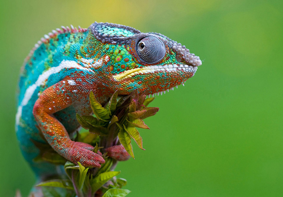 Chameleon - S.S - Ectotherms W...