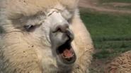 Announcer as Alpaca