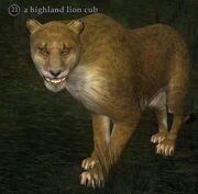 Highland lion cub