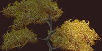 Golden Vesspyr Oak