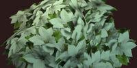 White Poinsett Flower in an Envious Pot