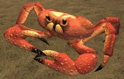 Race crab