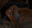 Conejo de Endor