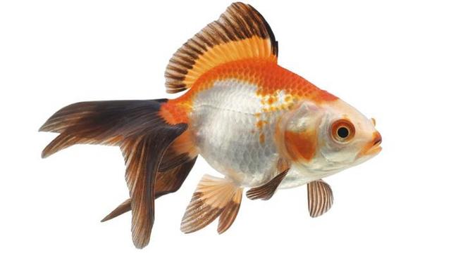 Archivo:Goldfish.png