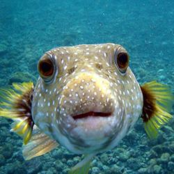 File:Expendables Quiz Q5 pufferfish.jpg