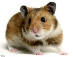 File:Hamster.jpeg