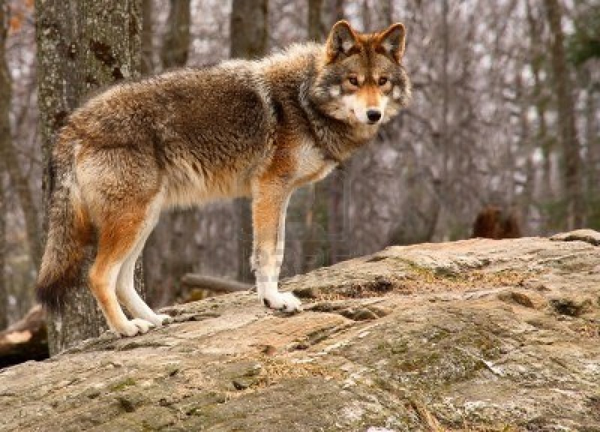 Full resolution   Coyote