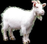 Goat full