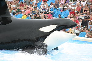 File:300px-Big Shamu San Diego by Patty Mooney.jpg