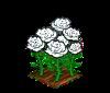 Perfect White Roses-icon