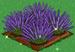 Lavender extra100