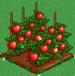 Tomato extra100