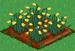 Daffodil 66