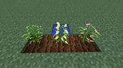 Cotton Growth