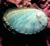 Green abalone shell1