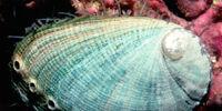 Green abalone