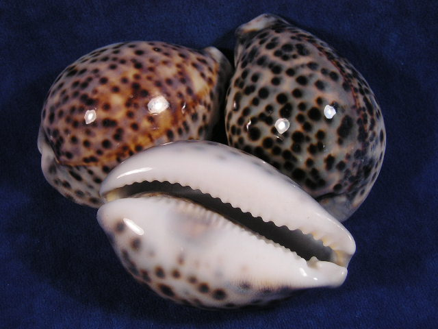 File:Tiger cowries.jpg