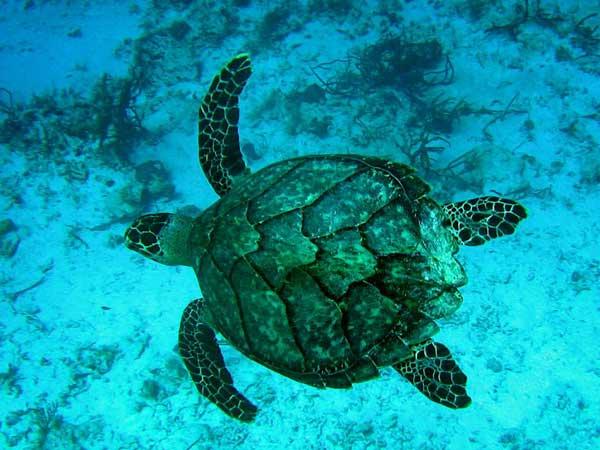 File:Hawksbill sea turtle1.jpg